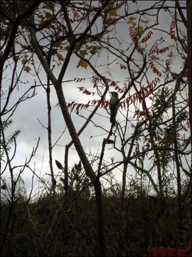Woodpecker taking a break