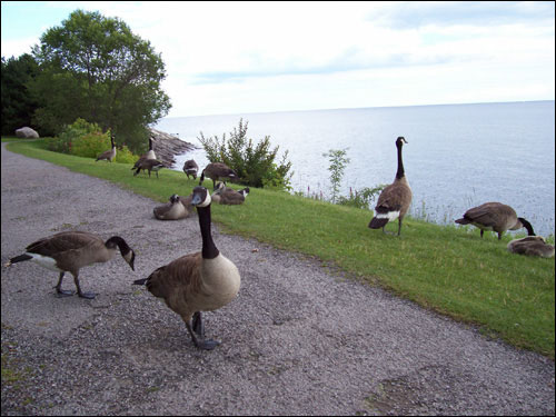 Geese hanging out by Lake Ontario