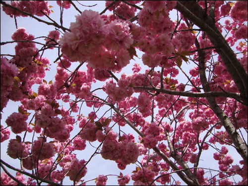 Cherry Blossom tree, Royal Botanical Gardens, May 5, 2012