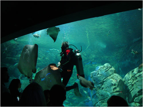 Diver feeding manta rays, Toronto aquarium, December 8, 2013