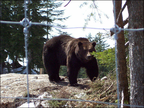Grizzly, Conservation Area, Grouse Mountain