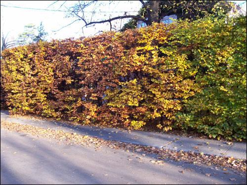 Fall colours, Nov 8, 2009