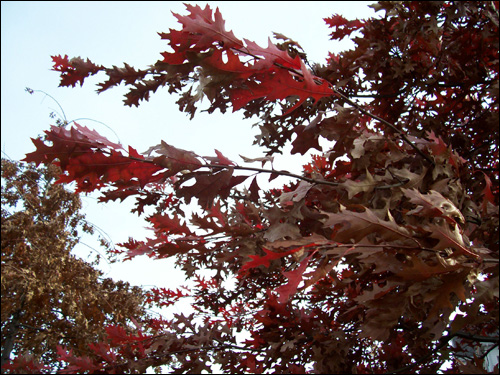 Fall colours, Nov 9, 2009