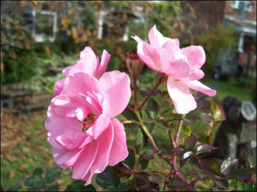 Fall flowers, Nov 9, 2009