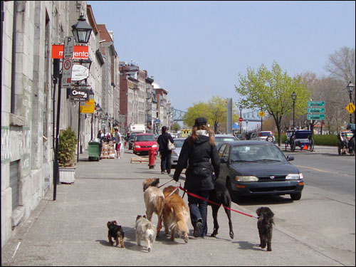Dog walking in Old Montreal
