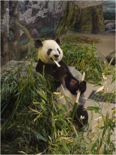 Panda Bear, Toronto Zoo, March 29