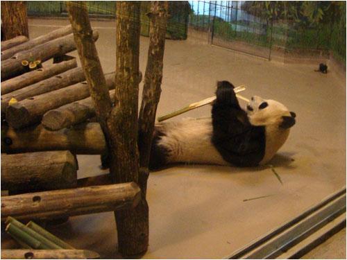 Panda Bears, Toronto Zoo, March 29