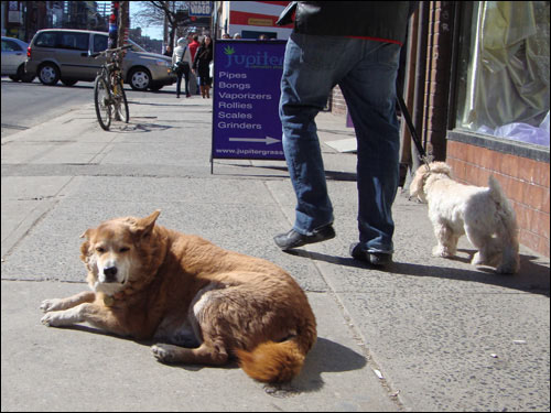 dog lazing on Queen Street sidewalk