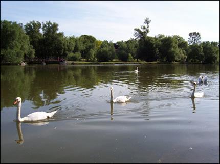 Swans on The Avon