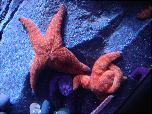 starfish, Toronto aquarium, December 8, 2014