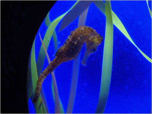 Baby seahorse, Toronto aquarium, December 8, 2014