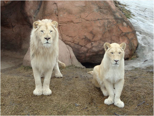 White Lions, Toronto Zoo, March 29